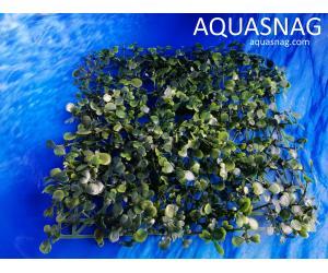 Растение коврик (25*25*3)см, лист темно зелёный
